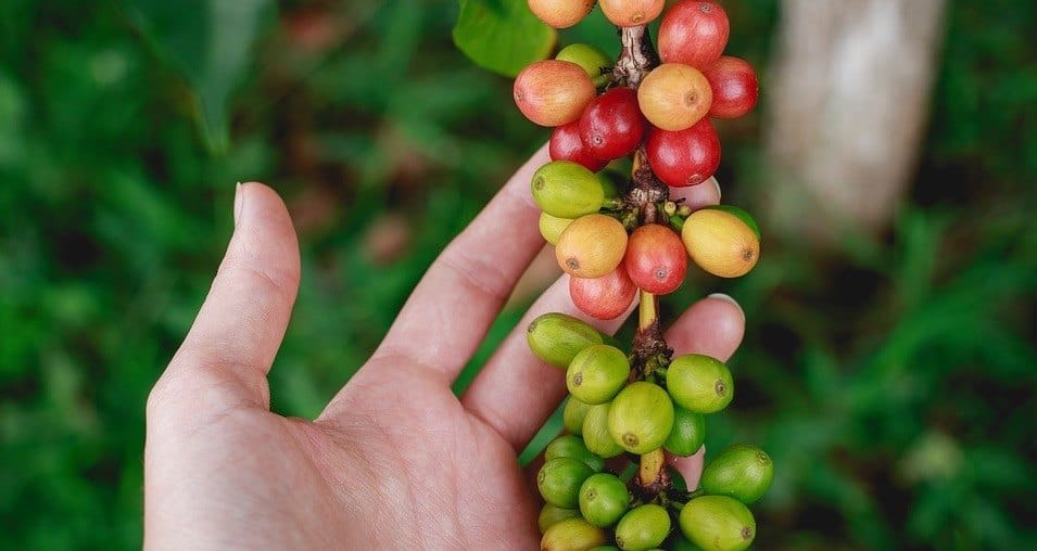 china coffee beans