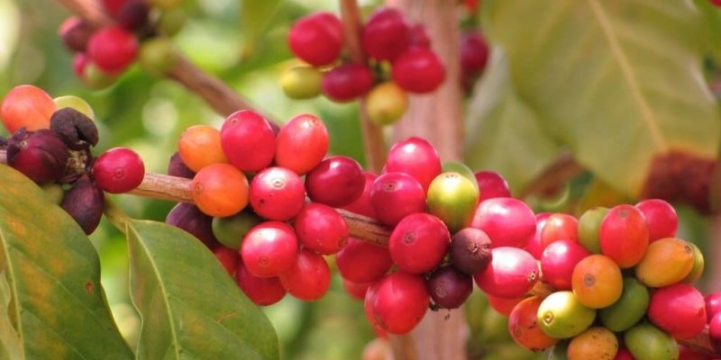 What is Peaberry Kona Coffee? Everything You Need Know!