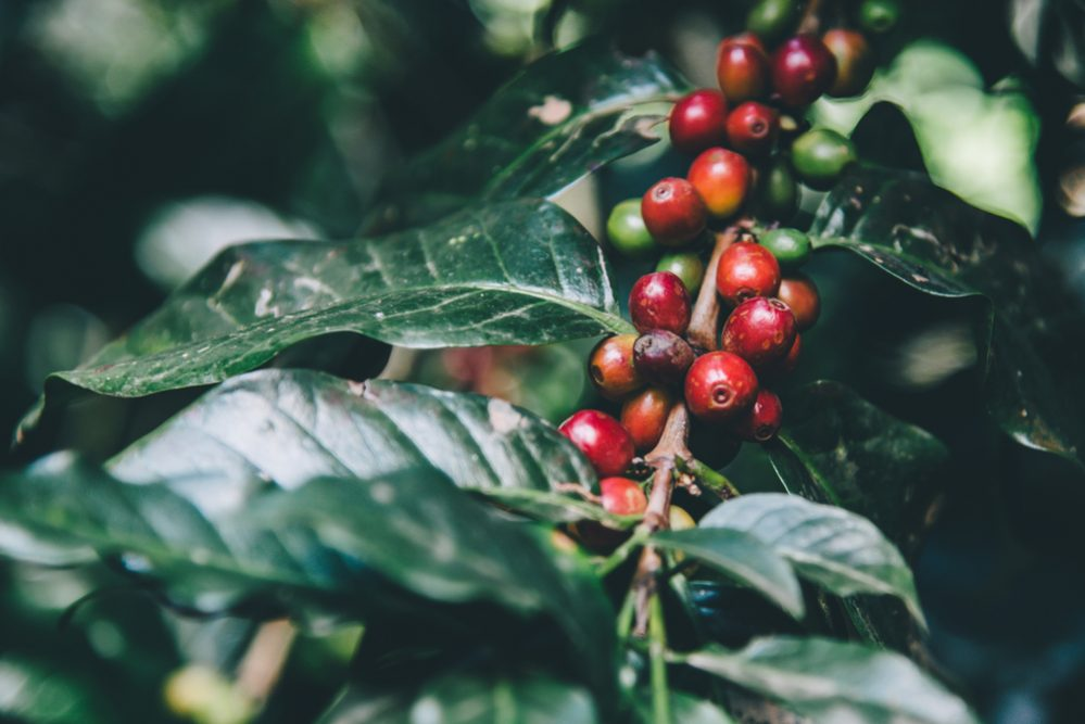 Organic Coffee vs. Conventional Coffee 3