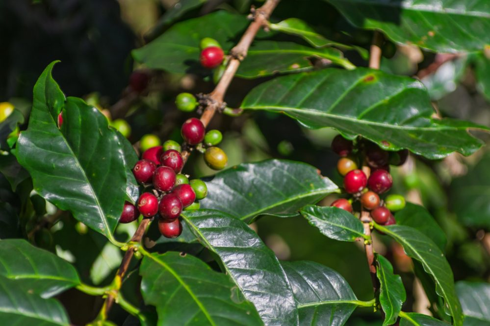 Organic Coffee vs. Conventional Coffee 4